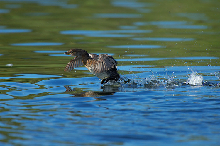 Pied-Billed_Grebe_Display_X5359