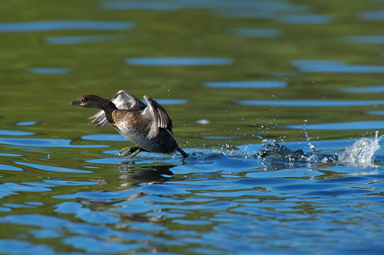 Pied-Billed_Grebe_Display_X5360