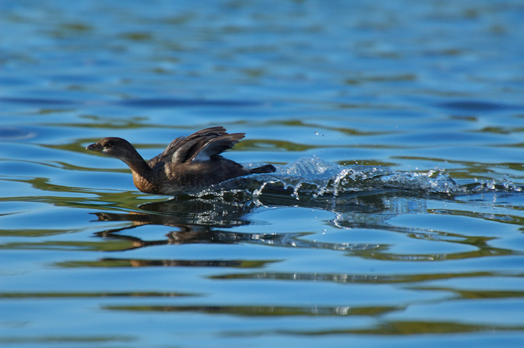 Pied-Billed_Grebe_Display_X5368