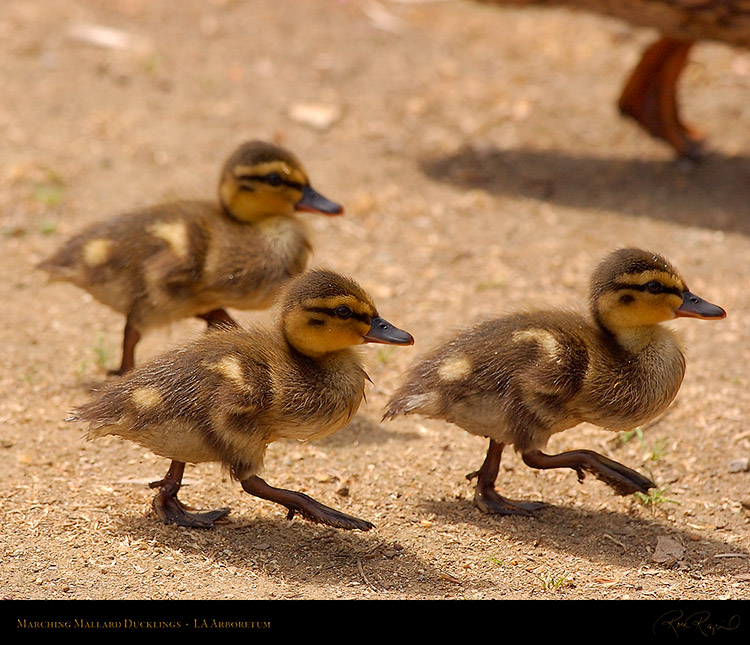 Marching_Mallard_Ducklings_1071M