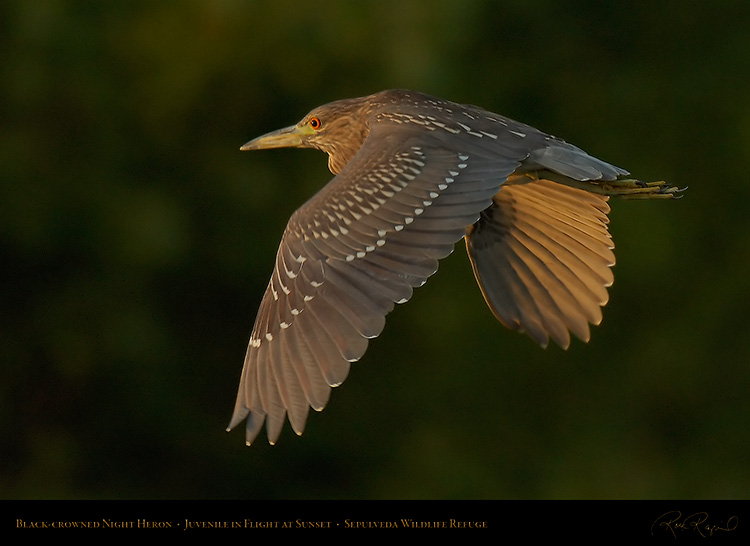 BCNheron_Juvenile_flight_X5667