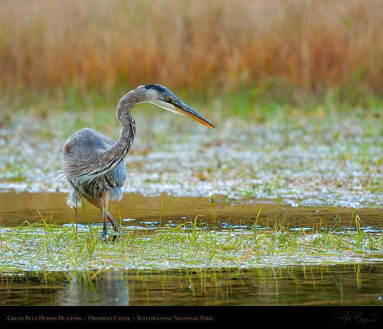 GreatBlueHeron_Yellowstone_0598M