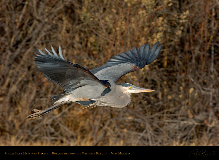 GreatBlueHeron_inFlight_0878