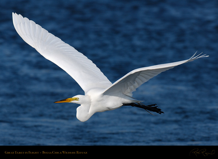 GreatEgret_Flight_X4592