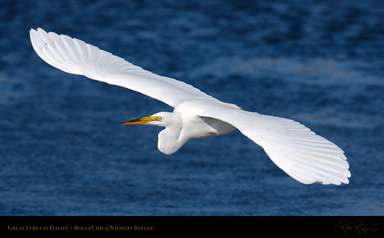 GreatEgret_Flight_X4594