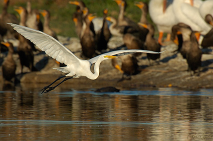 GreatEgret_Flight_X7421
