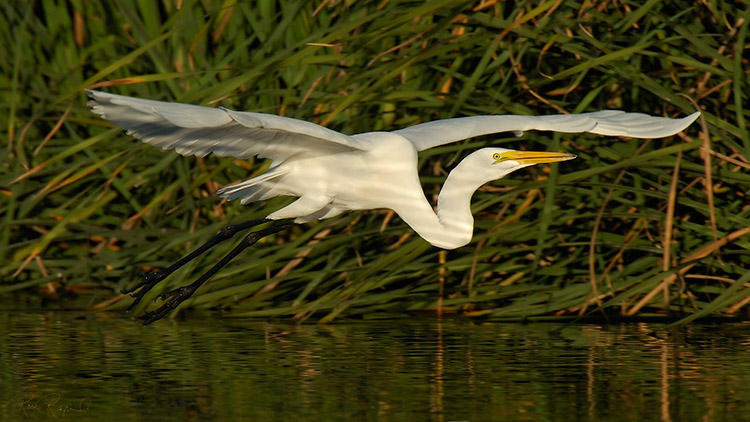 GreatEgret_Flight_X7434