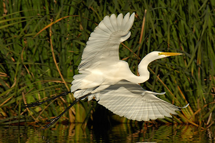 GreatEgret_Flight_X7443