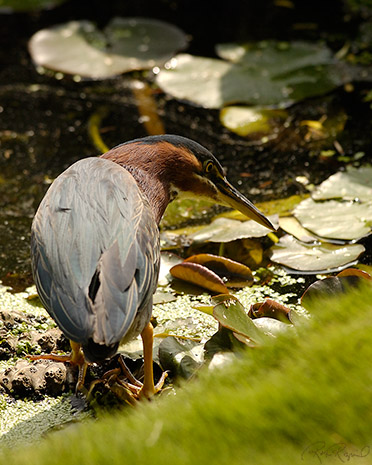 GreenHeron_0283