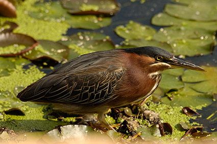 GreenHeron_0294