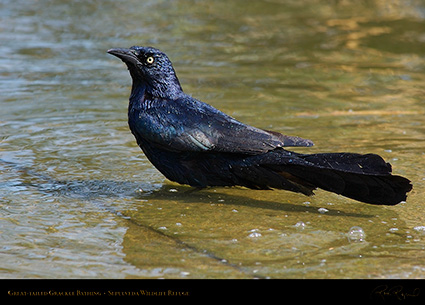 Great-Tailed_Grackle_Bathing_1893