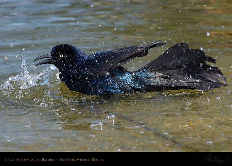 Great-Tailed_Grackle_Bathing_1900