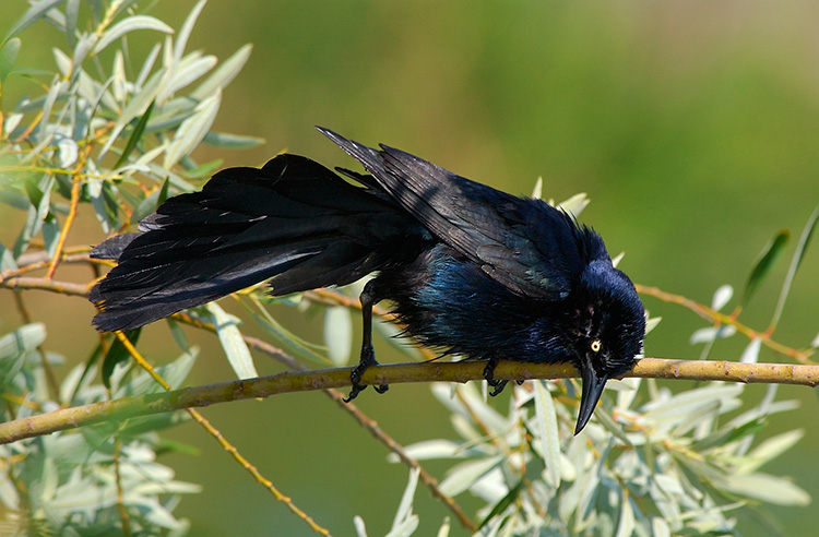 Great-Tailed_Grackle_DryingOff_1902