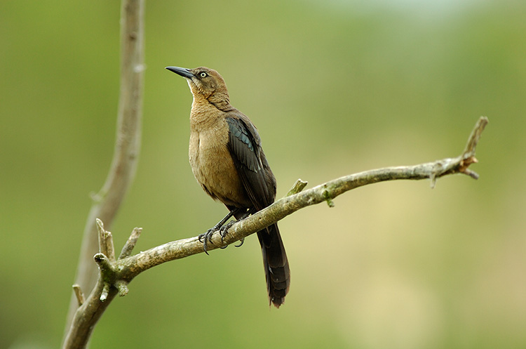 Great-Tailed_Grackle_Female_HS0499