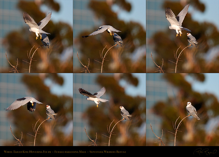 White-Tailed_Kite_Hovering_Fly-by_XXL