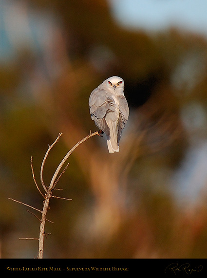 White-Tailed_Kite_Male_HS6875c