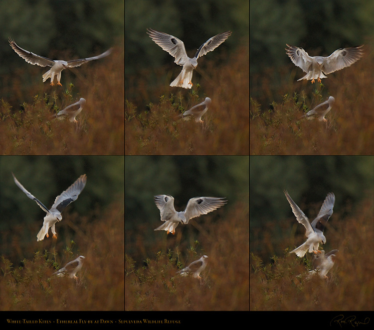 White-Tailed_Kites_Ethereal_Fly-by_SXL