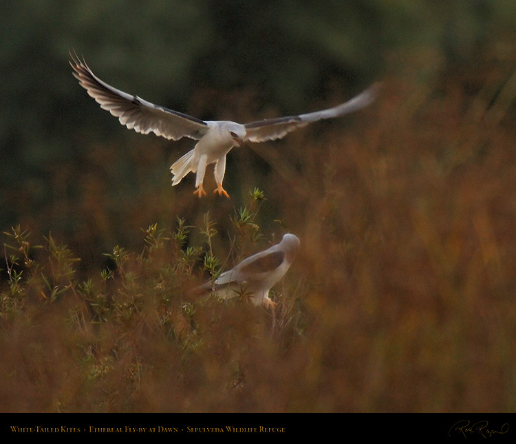 White-Tailed_Kites_Ethereal_Fly-by_X3014M