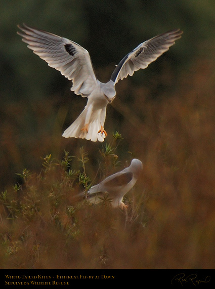 White-Tailed_Kites_Ethereal_Fly-by_X3015