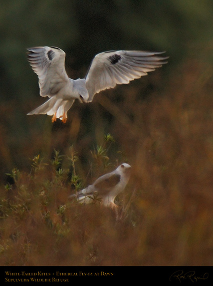 White-Tailed_Kites_Ethereal_Fly-by_X3019