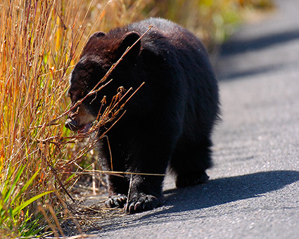 BlackBearCub_RooseveltLodge_8583M