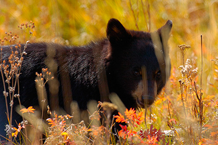 BlackBearCub_RooseveltLodge_8596