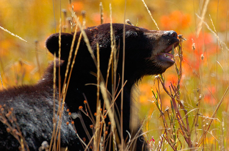BlackBearCub_RooseveltLodge_8619
