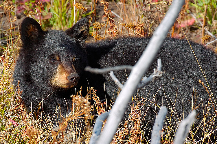 BlackBearCub_RooseveltLodge_8730c