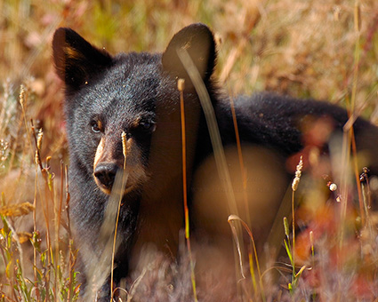 BlackBearCub_RooseveltLodge_8891M