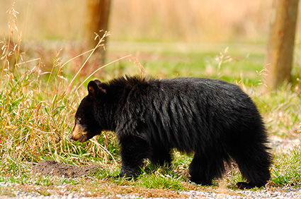 BlackBearCub_RooseveltLodge_9119