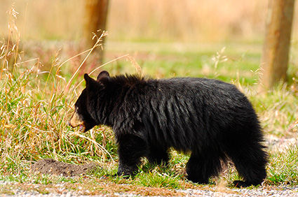 BlackBearCub_RooseveltLodge_9121