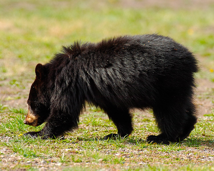 BlackBearCub_RooseveltLodge_9137M