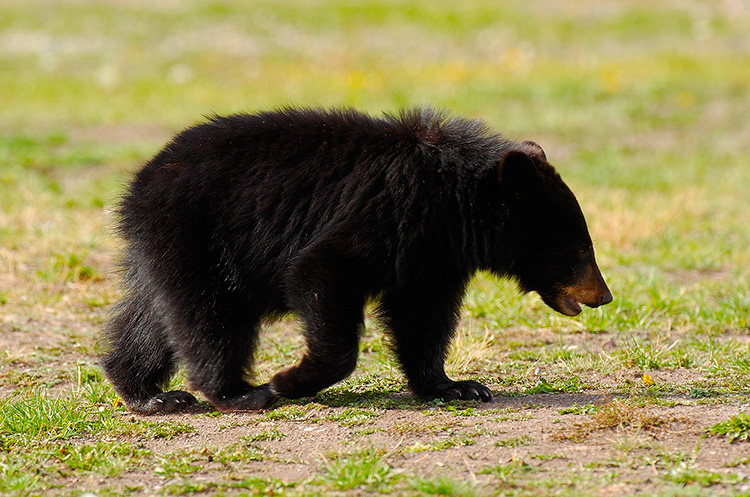BlackBearCub_RooseveltLodge_9180