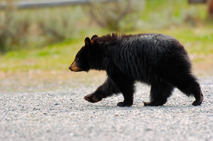 BlackBearCub_RooseveltLodge_9195