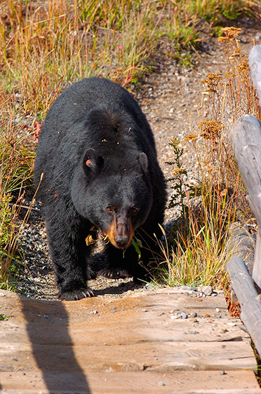 BlackBear_CrossingBridge_RooseveltLodge_8861