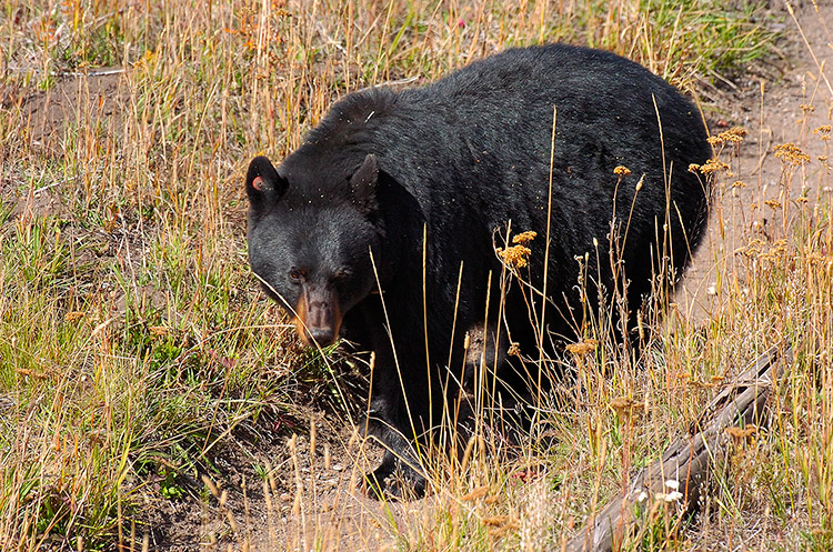 BlackBear_RooseveltLodge_8841