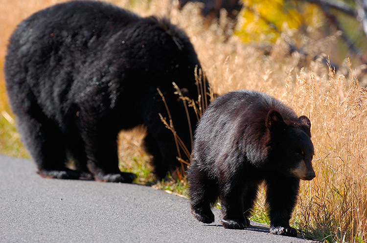 BlackBear_andCub_RooseveltLodge_8563