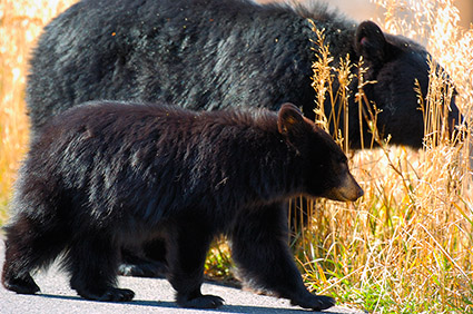 BlackBear_andCub_RooseveltLodge_8574