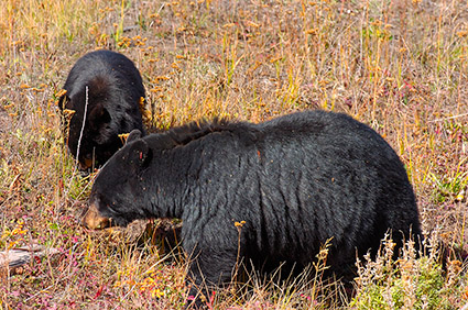BlackBear_andCub_RooseveltLodge_8790