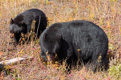 BlackBear_andCub_RooseveltLodge_8798