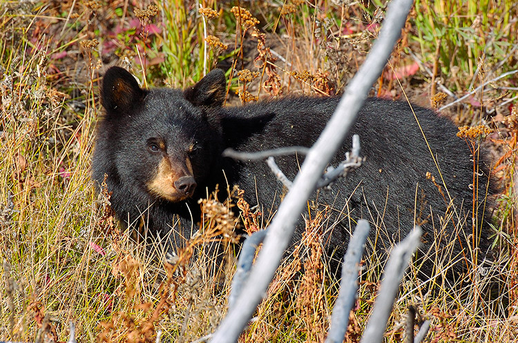 BlackBearCub_RooseveltLodge_8732
