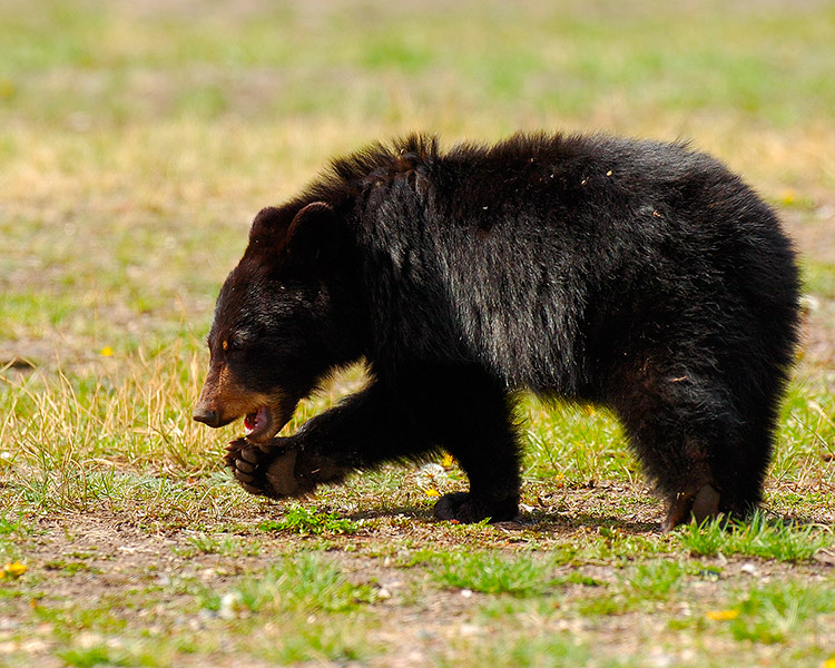 BlackBearCub_RooseveltLodge_9147M
