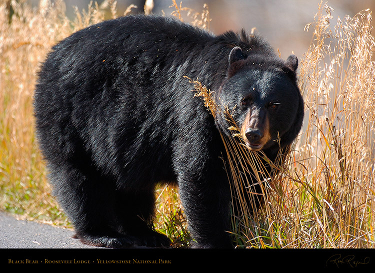 BlackBear_RooseveltLodge_8577