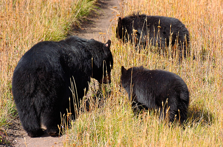 BlackBear_andCubs_RooseveltLodge_8824