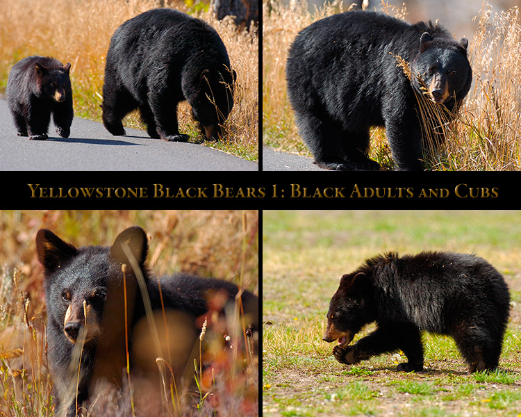BlackBears_1