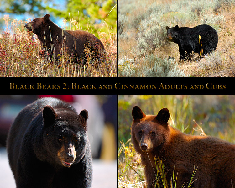 BlackBears_2