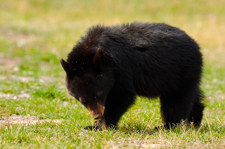 BlackBearCub_RooseveltLodge_9122