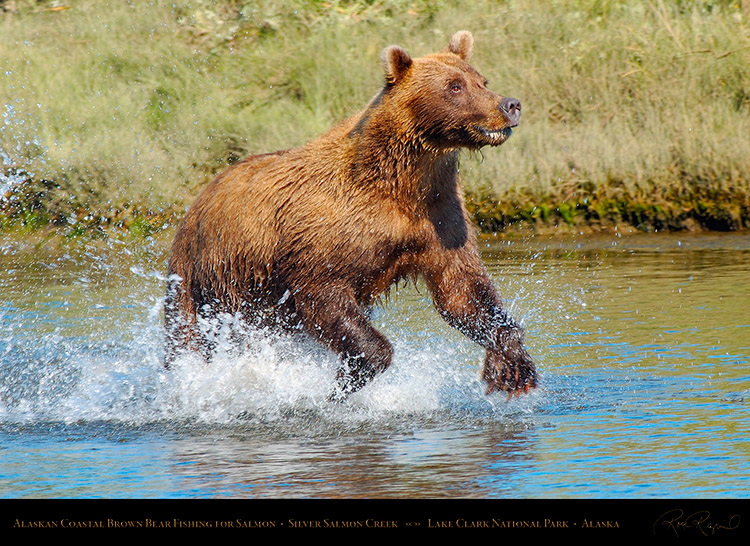BrownBear_Fishing_X4013