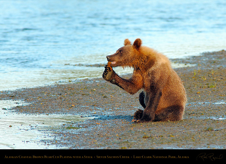 BrownBearCub_Playing_withStick_X3178