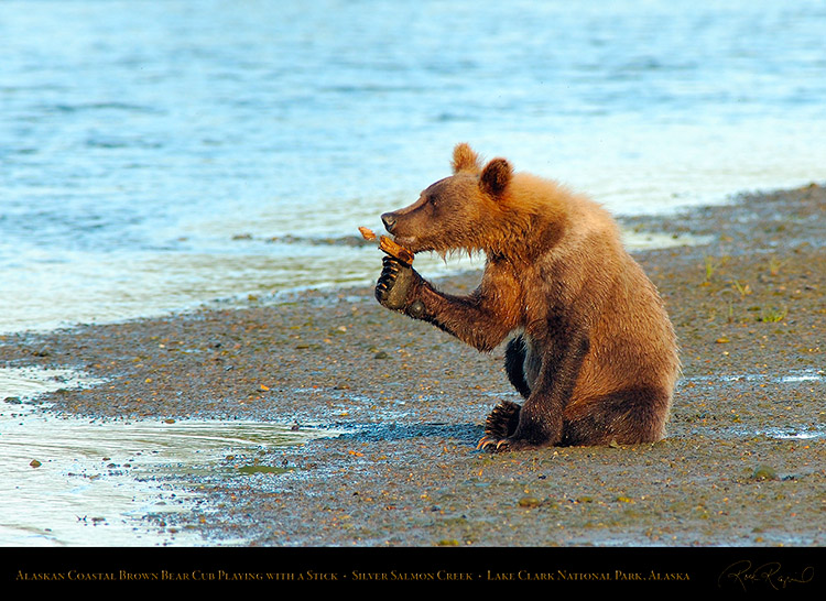 BrownBearCub_Playing_withStick_X3179